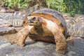 Indian Star Tortoises - Geochelone elegans Royalty Free Stock Images