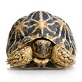 Indian Starred Tortoise - Geochelone elegans Royalty Free Stock Photo