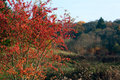 Indian summer colors of burning bush wahoo Stock Photo