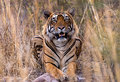 Indian tiger in wild