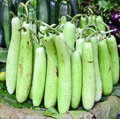 Indian vegetable bottle gourd opo squash or long melon is a vine grown for its fruit which can either be harvested young and used Stock Image