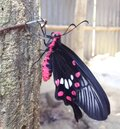 Indian Village Natural Colourful Butterfly Royalty Free Stock Photo