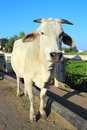 Indian white cow photo of big Royalty Free Stock Photos