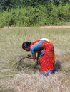 Indian woman  uses a sickle to harvest sesame seed Royalty Free Stock Photo