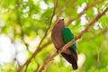 Indica emerald dove eller chalcophaps Arkivbilder