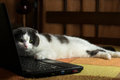 Indifferent lazy cat lying in front of laptop