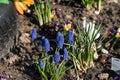Indigo bell flowers in public garden