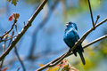 Indigo bunting a close up of an during spring migration Royalty Free Stock Photography