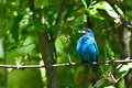 Indigo bunting a close up of an during spring migration Royalty Free Stock Photos