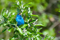 Indigo bunting a close up of an during spring migration Stock Photo