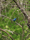 Indigo bunting looking down from the tree above Royalty Free Stock Photos