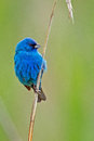 Indigo bunting standing on a reed Royalty Free Stock Images