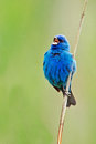 Indigo bunting standing on the reeds along the marsh singing Stock Photo