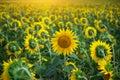 Individual sunflower