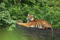 Indochinese tiger the lying on the trunk Stock Images