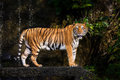 Indochinese tiger Royalty Free Stock Photo