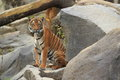 Indochinese tiger sitting on the rock Stock Photos