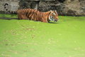 Indochinese tiger the in water Stock Photography