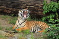 Indochinese tiger the yawning Stock Photo