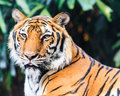 Indochinese tiger in zoo bengal bangkok thailand Royalty Free Stock Photos