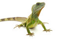 Indochinese water dragon on a white background Royalty Free Stock Photos