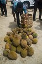 INDONESIA DURIAN HARVESTING Royalty Free Stock Photo