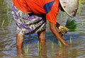Indonesia, Java: Work in ricefield Stock Photo