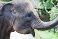 Indonesian elephant head close up Royalty Free Stock Photo