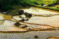 Indonesian ricefield Royalty Free Stock Photo