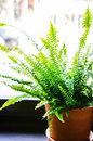 Indoor fern in a pot