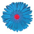 Indoor  flower cyan red Gerbera isolated on white background. Close-up. Macro. Element of design Royalty Free Stock Photo