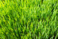 Indoor grown wheatgrass from close Royalty Free Stock Photo