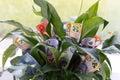 Indoor Money Plant Royalty Free Stock Photo