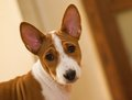 Indoor portrait of basenji puppy month old Royalty Free Stock Images