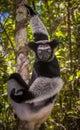 Indri the largest lemur of madagascar close up Stock Photo