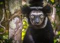 Indri the largest lemur of madagascar curious Stock Photography
