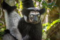 Indri the largest lemur of madagascar cute Stock Photography