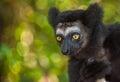 Indri the largest lemur of madagascar island Stock Photography