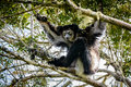 Indri Lemur hanging in tree canopy looking at us Royalty Free Stock Photo
