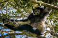 Indri Lemur hanging in tree canopy  staring at us with its beautiful eyes Royalty Free Stock Photo
