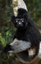Indri lemur in its natural habitat, the rainforest 0f eastern madagascar . Royalty Free Stock Photo