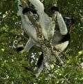 Indri, Indri indri Royalty Free Stock Photo