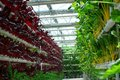 Industrial greenhouse for growing beet very fresh Stock Photo