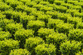 Industrial growth of sculpted green buxus Royalty Free Stock Photo