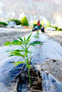 Industrial hemp seedling with tractor Royalty Free Stock Photo