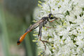 Industrious Wasp on Leek Flower