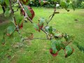 Infected apple tree with brown leaves by some disease Stock Image