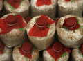 Infected mushroom bag at farm Stock Photos