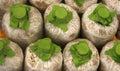 Infected mushroom bag at farm Stock Image
