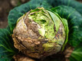 Infested cabbage still delicious green growing in the garden by insect Royalty Free Stock Photos